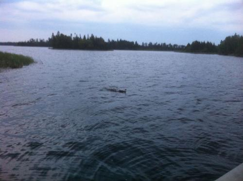 Ducks in the water - Whitewater Lake
